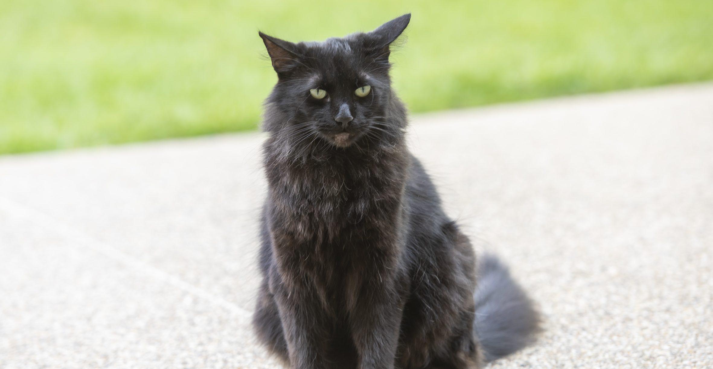 Simpkin cat